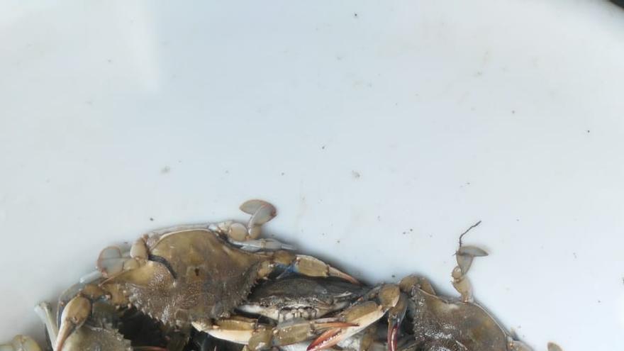 Cangrejos azules capturados esta semana en Isla Mayor.
