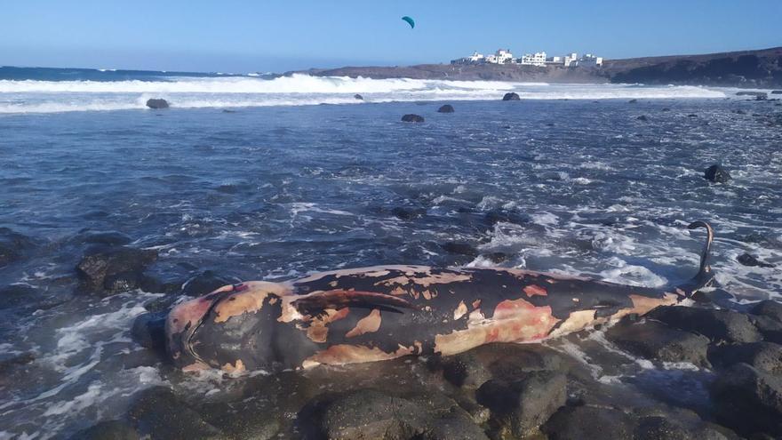 Ballena piloto hallada muerta en Tenerife.