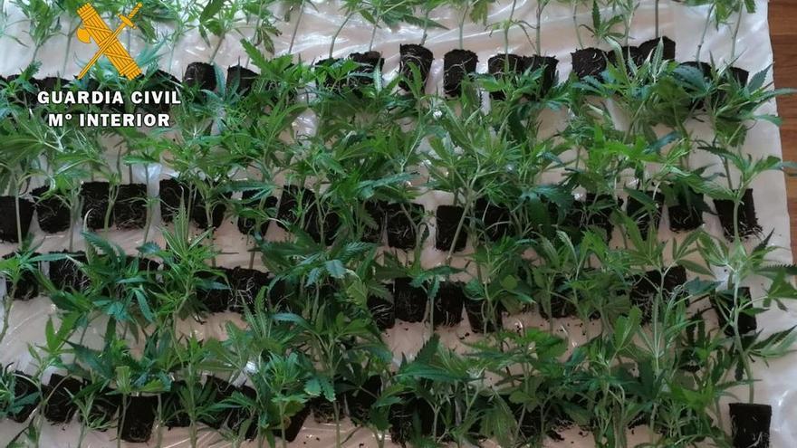 Detenido un vecino de Castro con más de cien plantas de marihuana en el coche