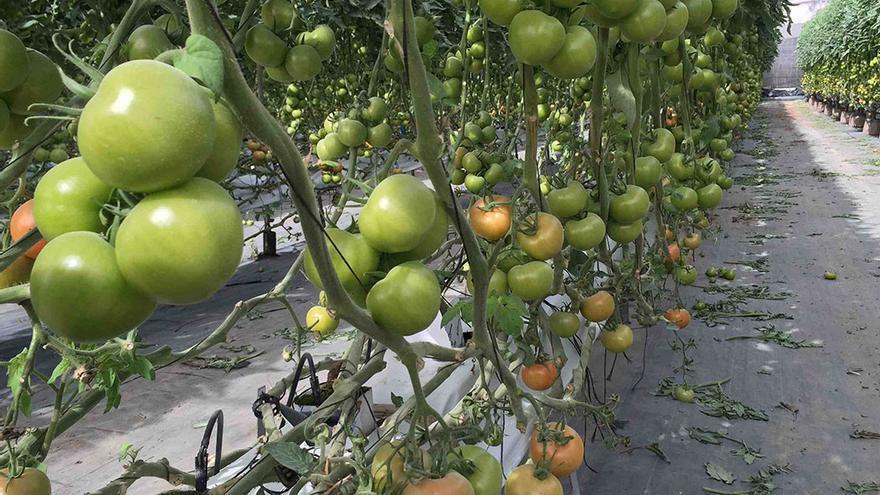 Explotación para el cultivo de esta hortaliza de exportación bajo invernadero, en el Archipiélago.