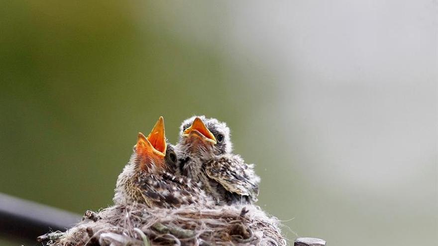 Salir del huevo en día festivo tiene graves consecuencias para las aves