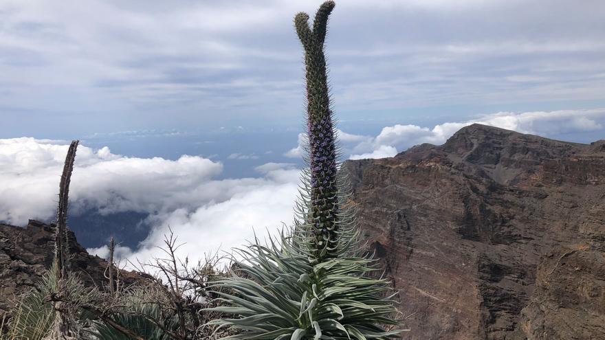 Tajinaste rosado con la punta bifurcada, en las cumbres de La Palma