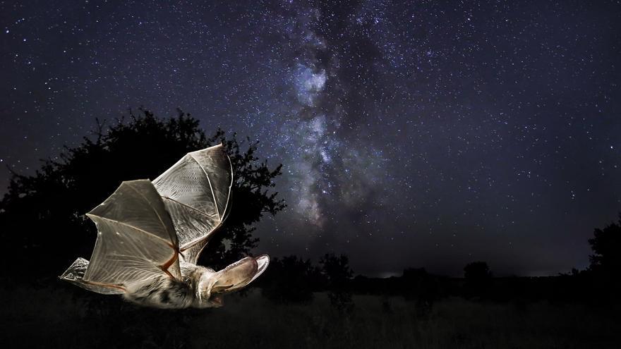 Murciélago orejudo