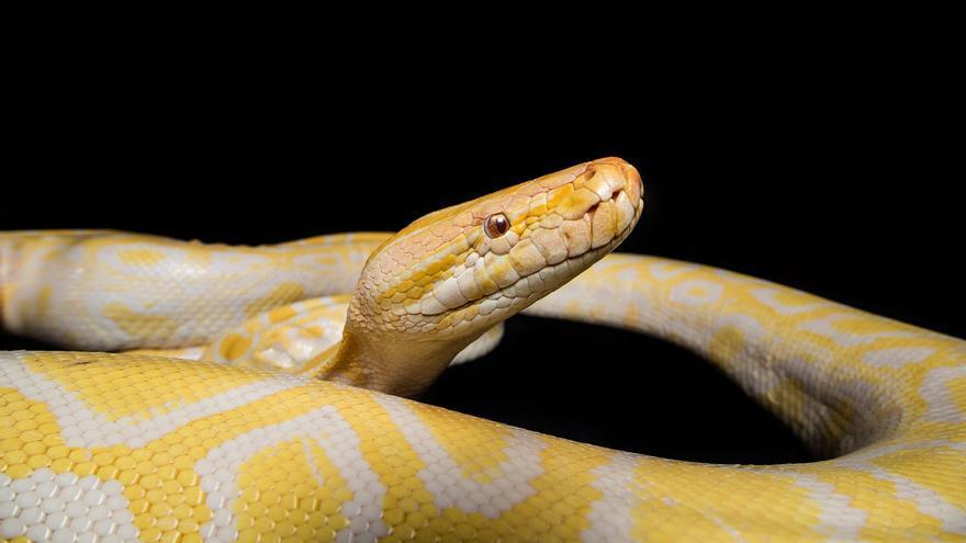 Una serpiente acogida en el Maroparque.