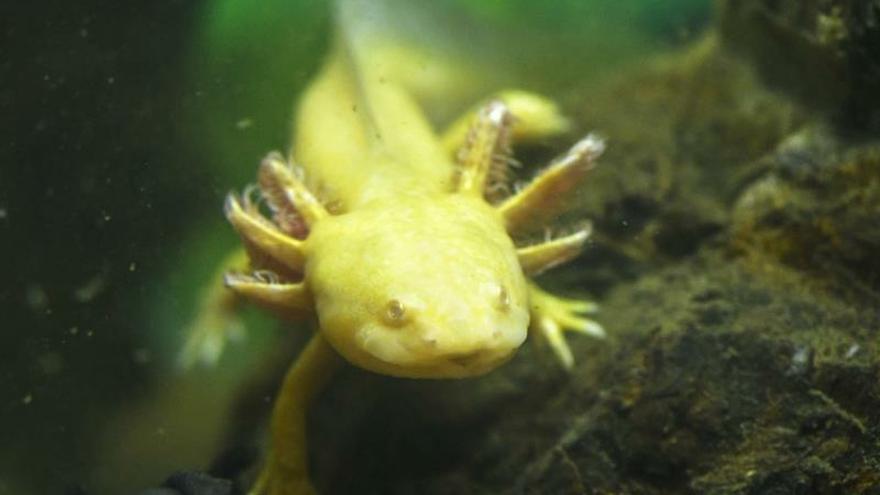 Acuario canario logra criar dos raros anfibios de Irán y México amenazados