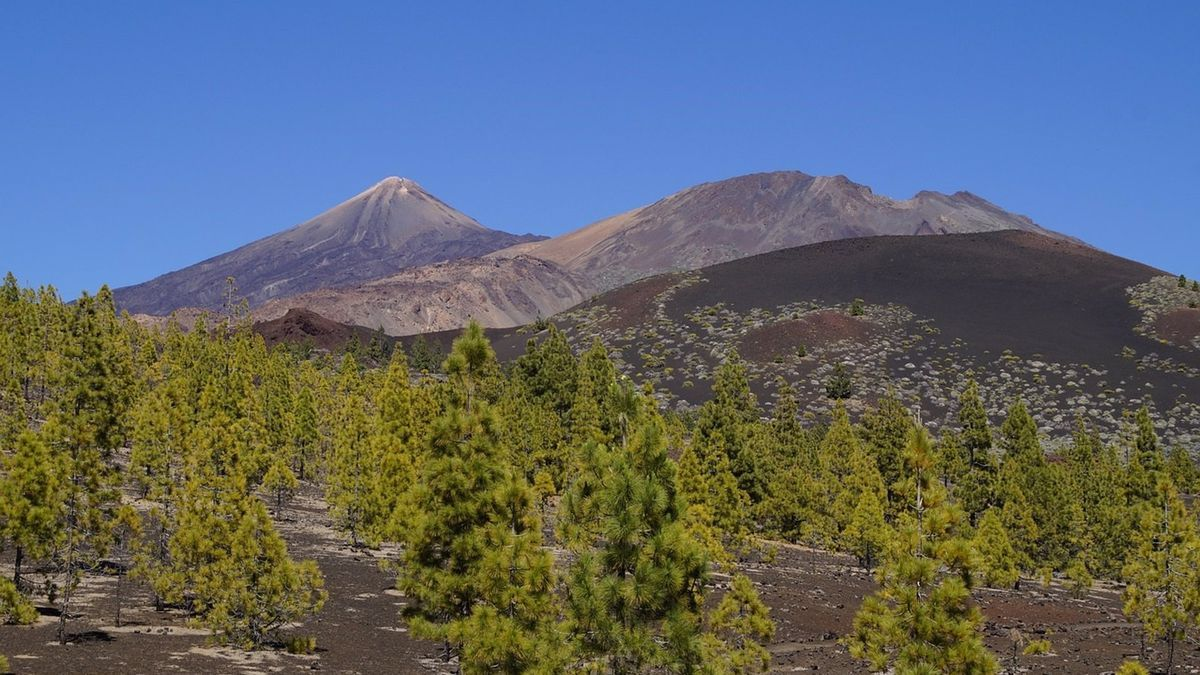 Pinar en Tenerife. (Gobierno de Canarias)