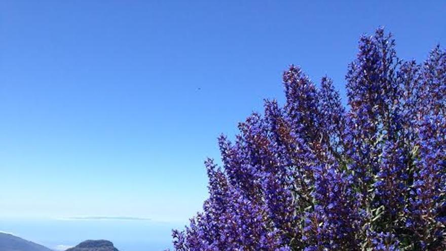 En la imagen, tajinastes azules, este jueves, al lado del mirador situado al este de Los Andenes. Foto: ÁNGEL PALOMARES.