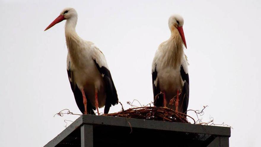 Pareja de cigüeñas en la torre de la Reserva Ornitológica Municipal de Azuqueca. Fotografía: Daniel Sánchez