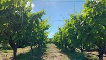 Cultivo vitivinícola