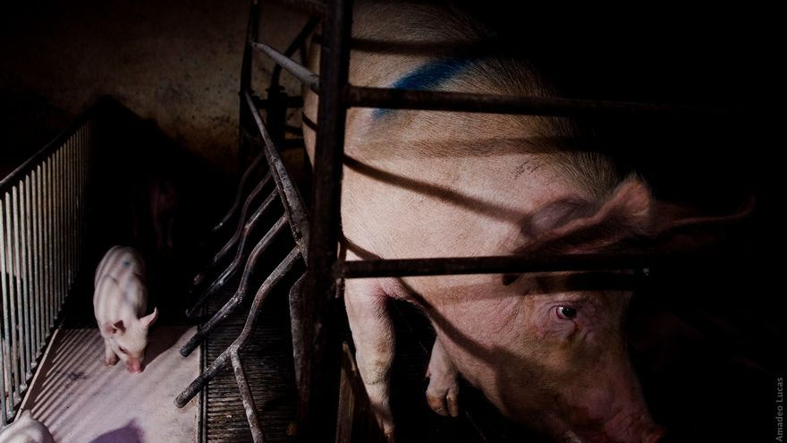 Una cerda en una jaula de gestación. Foto: © Jonás Amadeo Lucas / The Animal Day