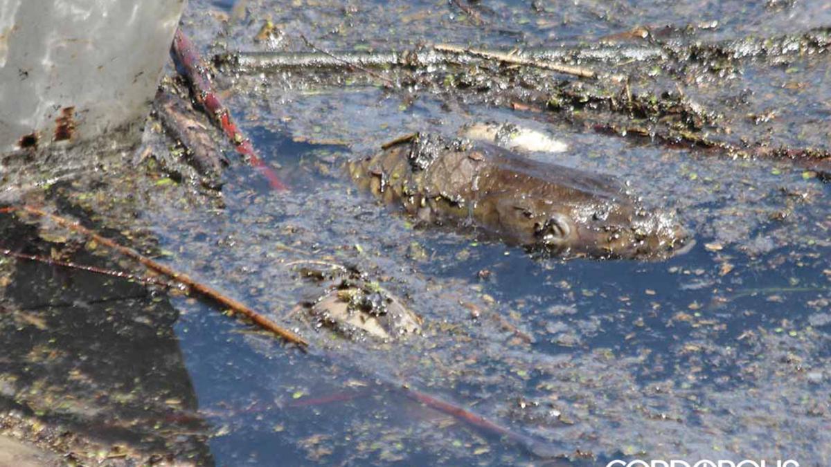 Cientos de peces muertos aparecen en la zona del vertido de orujo en el Guadalquivir
