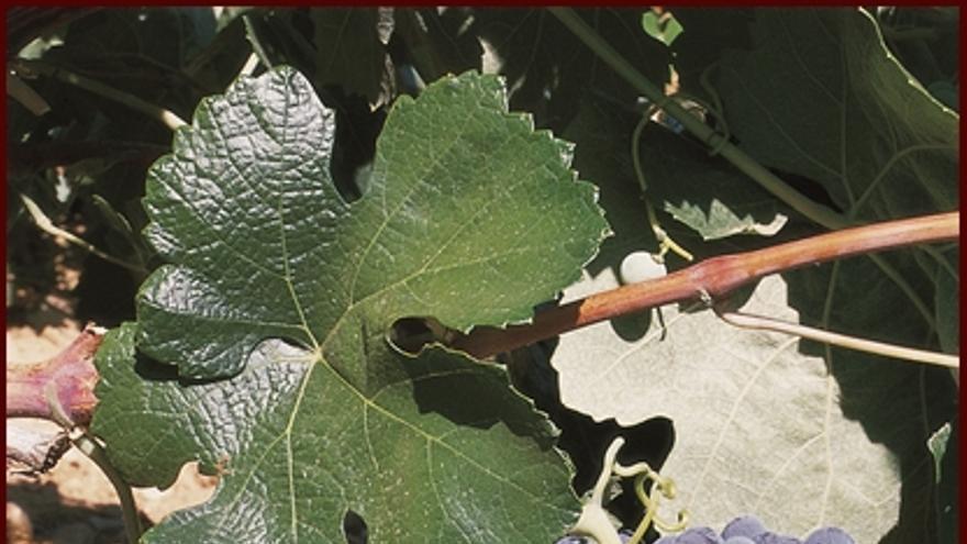 Bobal, una de las variedades de uva características de Castilla-La Mancha