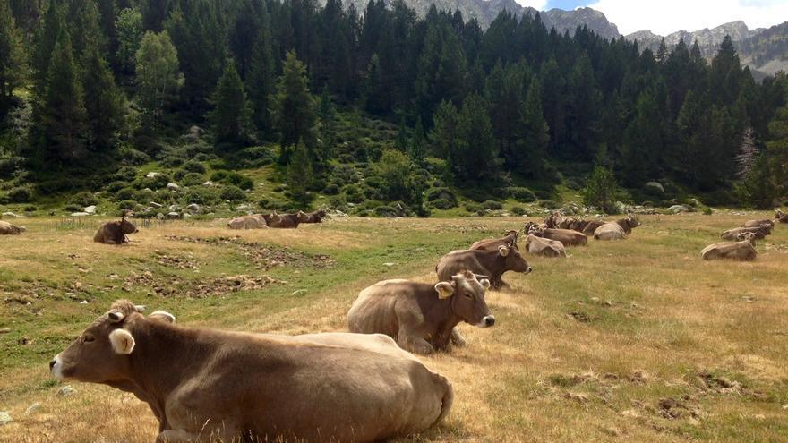 Ganado de montaña en el Pirineo Catalán