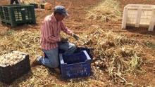 Los recortes no afectarán a la presente cosecha de ajo