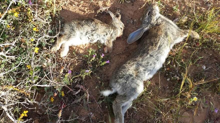 Los cazadores advierten que Lanzarote se queda sin conejos por una enfermedad.