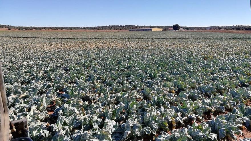 Cultivo en el campo de Montiel. Imagen cedida.