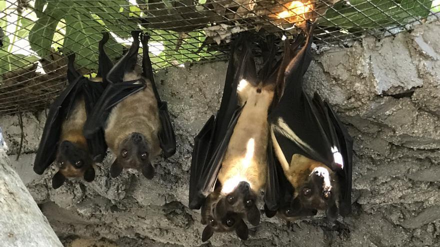 Ejemplares de murciélago africano rescatados en un zoo de Tenerife