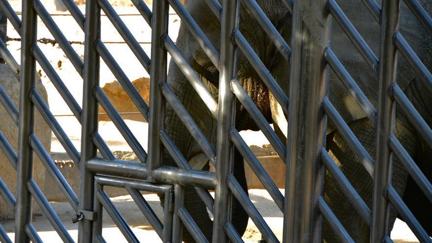 Elefante cautivo en el Zoo de Barcelona