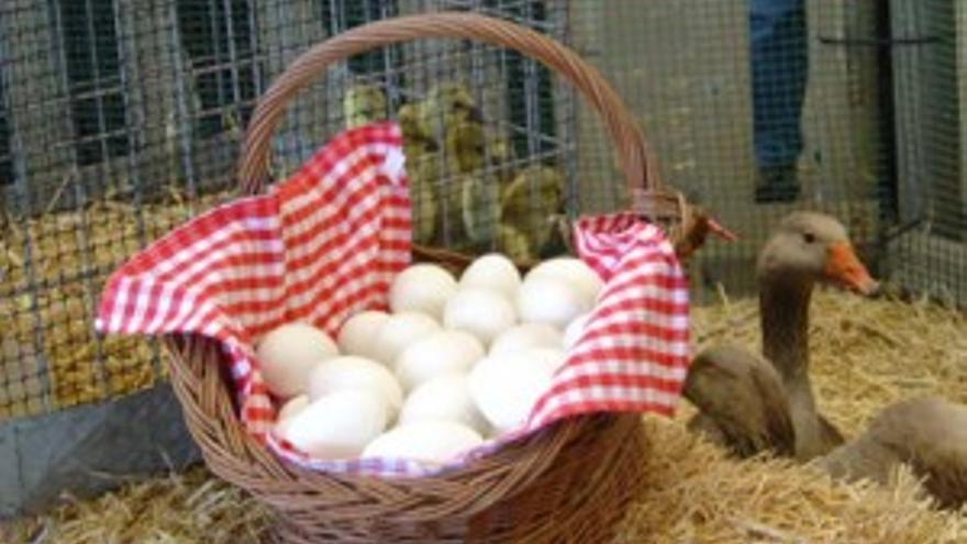 Huevos de la oca de la raza Euskal Antzara.