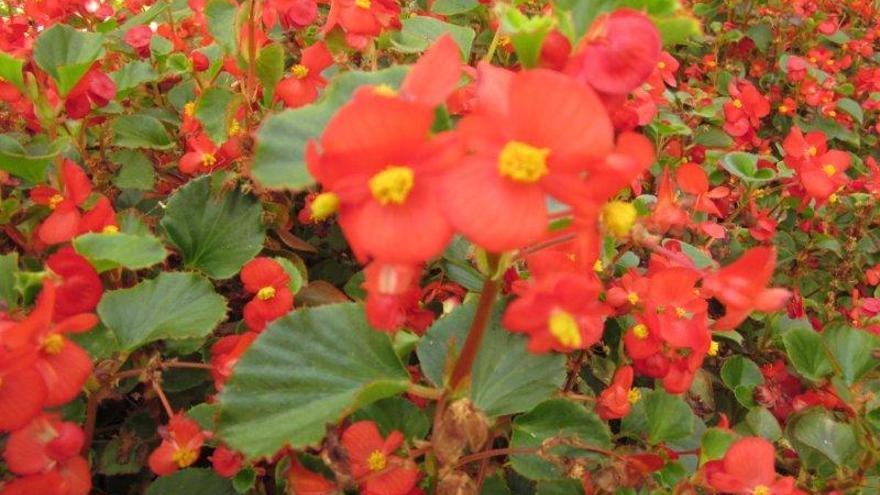 Flor de begonia roja