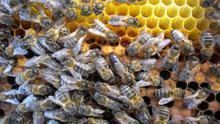 Panal con ejemplares de abeja negra, en una imagen de archivo