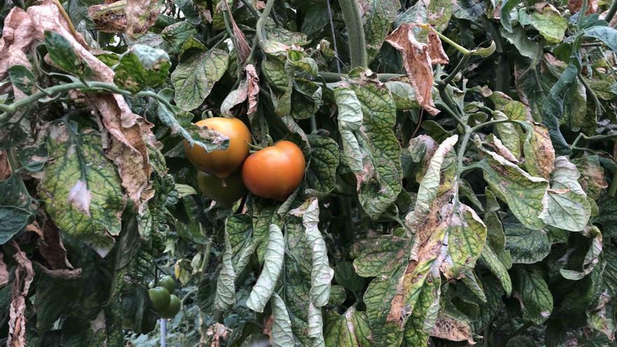 Planta tomatera afectada por la Tuta Absoluta, en una explotación radicada en las islas