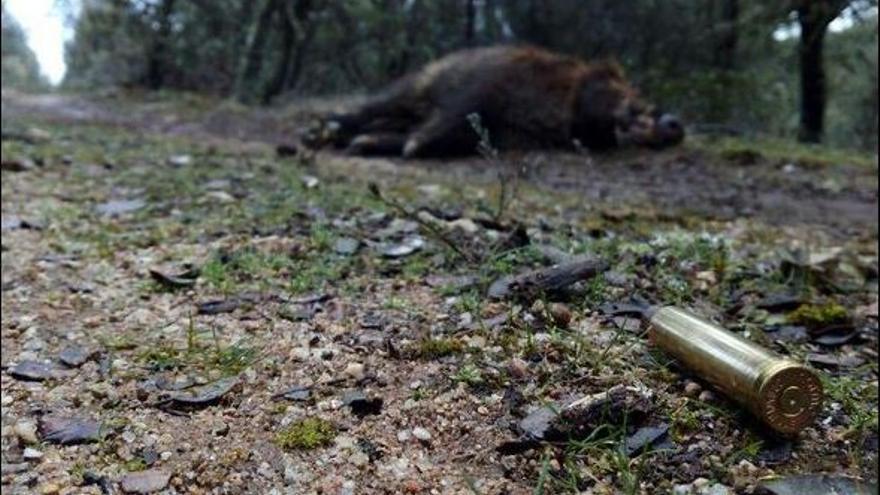 Jabalí muerto durante una montería // @cazadicto
