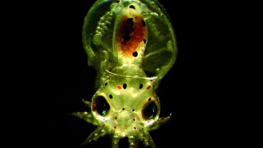 Larva de pulpo