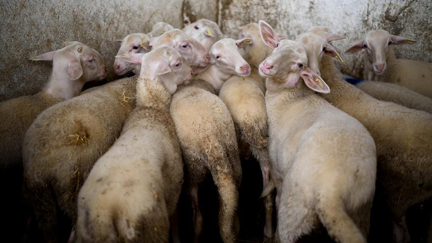 Corrales de un matadero de ovejas.