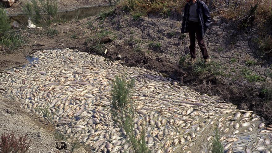 Peces muertos en el Guadiamar los días posteriores a la rotura de la balsa.