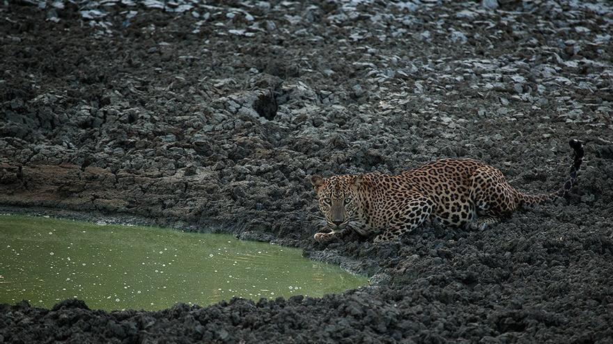 Leopardo en el Parque Nacional de Yala. Rohit Varma