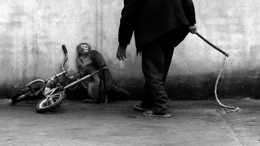 Un mono amaestrado y su cuidador con el latigo en un circo de Suzhou, China. Yongzhi Chu/Premio World Press Photo