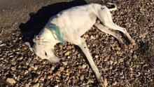 Varias asociaciones denuncian que unos 50.000 galgos son abandonados o asesinados cada año