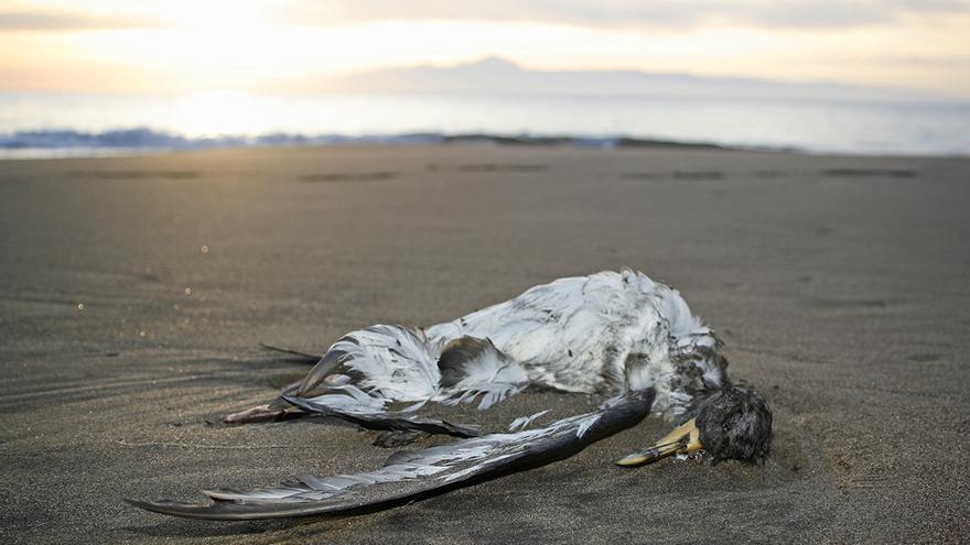 Ave muerta en la playa de Güigüi. (Foto: Alejandro Ramos)