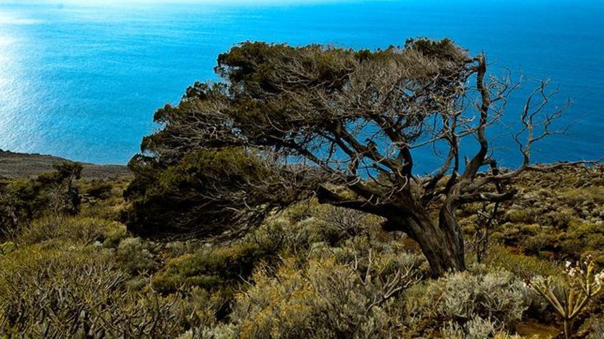Sabina retorcida por el viento en el Sabinar de La Dehesa, en la isla de El Hierro. VIAJAR AHORA