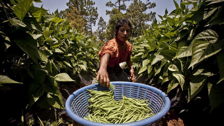 Mujer trabajando en la cosecha en Guatemala. Pablo Tosco / Intermón Oxfam