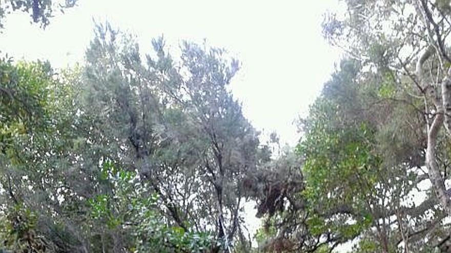 En la imagen, el sendero de Fuente Melchora, en Breña Alta, uno de tres que están siendo recuperados.