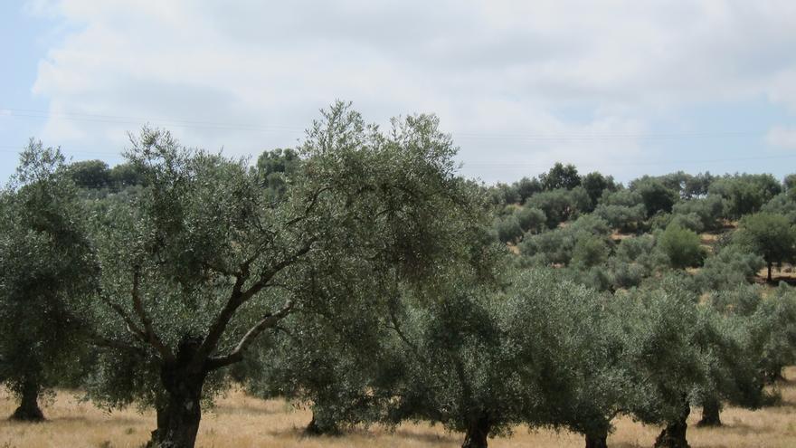 Junta destina más de dos millones al desarrollo de proyectos innovadores en el olivar a través de los Grupos Operativos