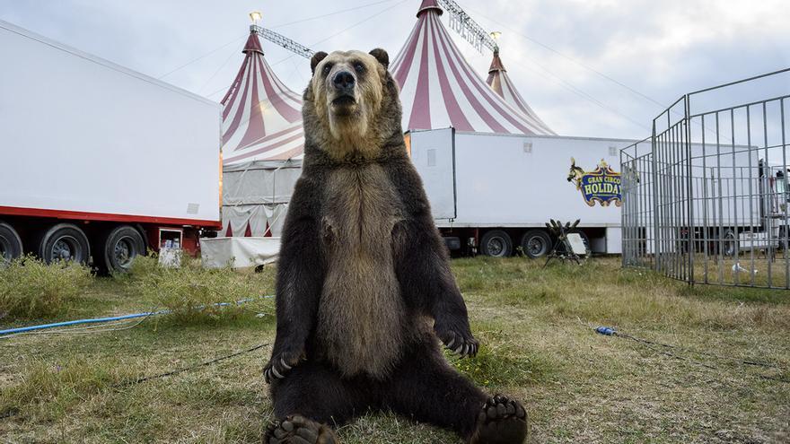 Osa explotada por el Circo Holiday, en 2016. foto: Tras los Muros