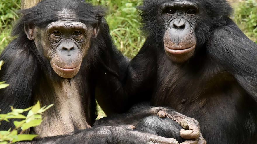 Dos bonobos.