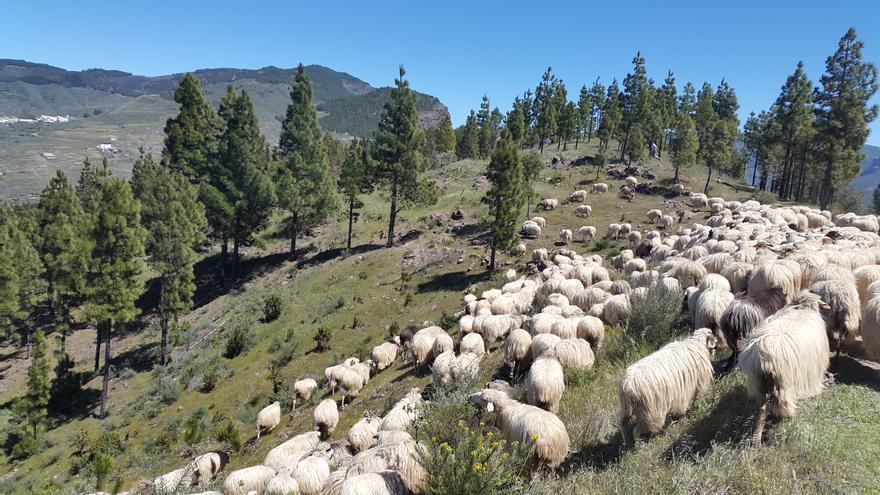 Pastoreo en Gran Canaria.