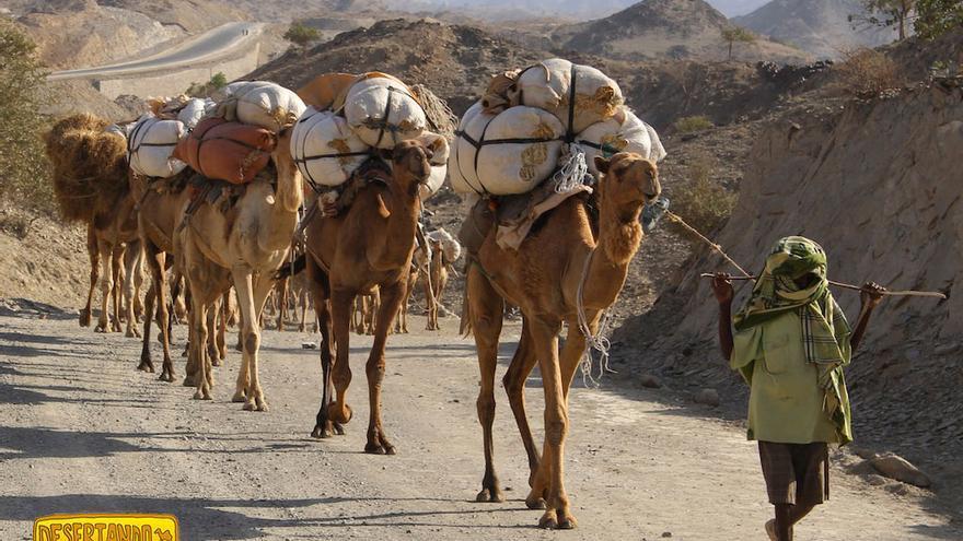 Caravana de camellos en el desierto del Danakil.