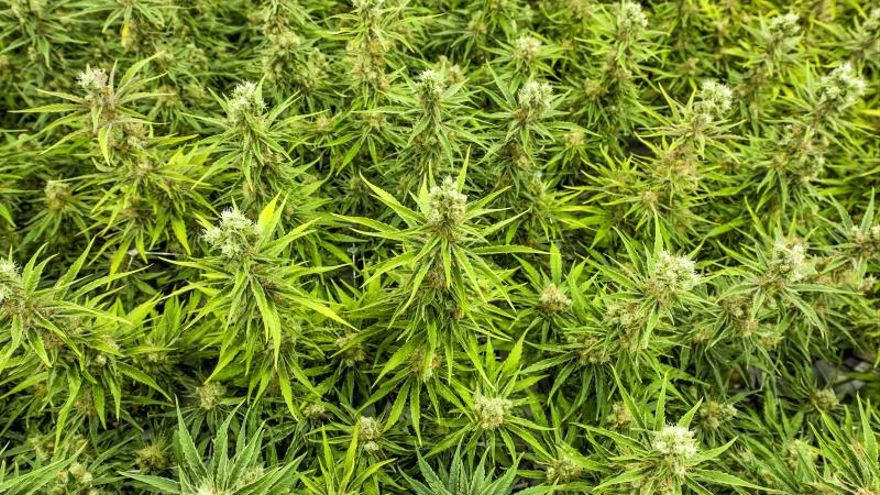 El cannabis medicinal ya es legal en Portugal, pero nadie lo comercializa