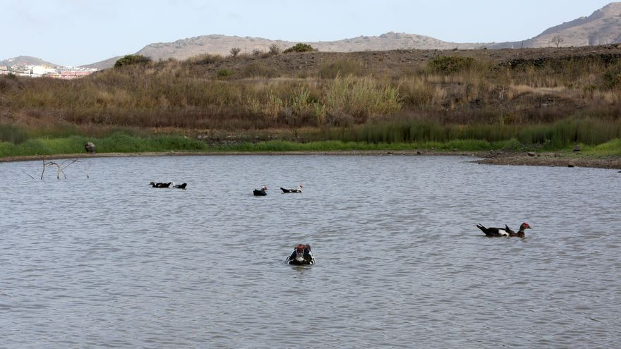 Diferentes especies de patos en la última charca de San Lorenzo.