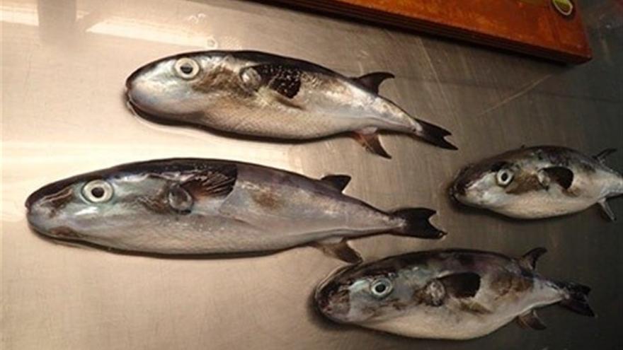 Ejemplares de la especie 'Lagocephalus lagocephalus', un pez globo tóxico si es consumido por la población. Foto cedida (Europa Press).