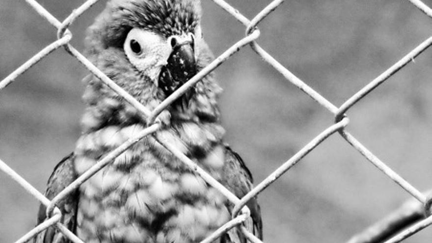 Guacamaya rescatada del tráfico ilegal de especies en Colombia