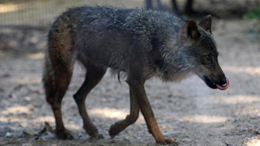 La genética de los lobos ibéricos del sur de España está mezclada con perros