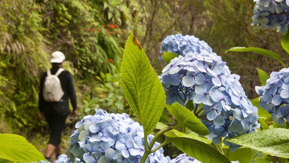 Hortensias en el sendero de Caldeirao Verde, en Madeira.