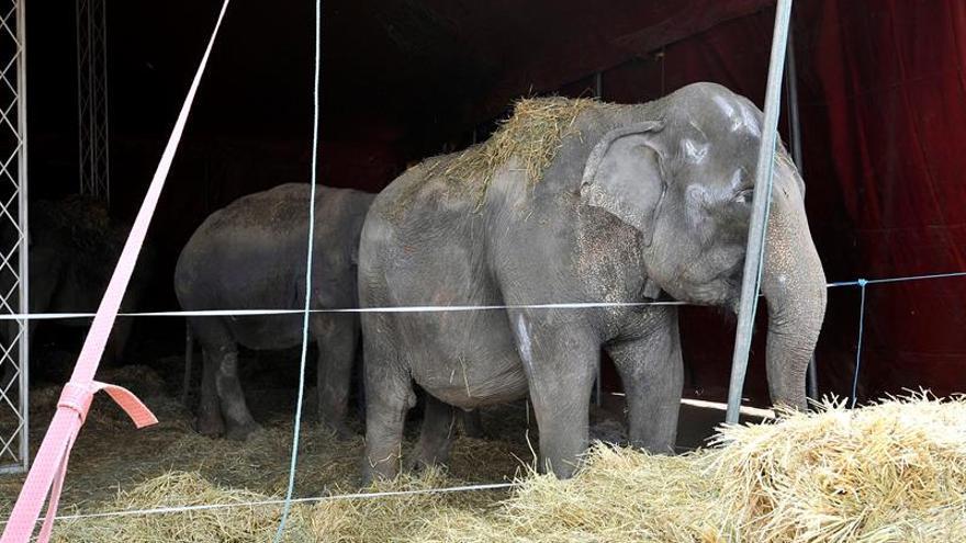 El circo demanda al Pacma por las acusaciones de maltrato animal a sus elefantes