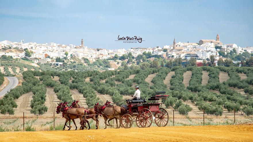 Paseo en coche de caballos entre olivares, organizado por Oleorasa